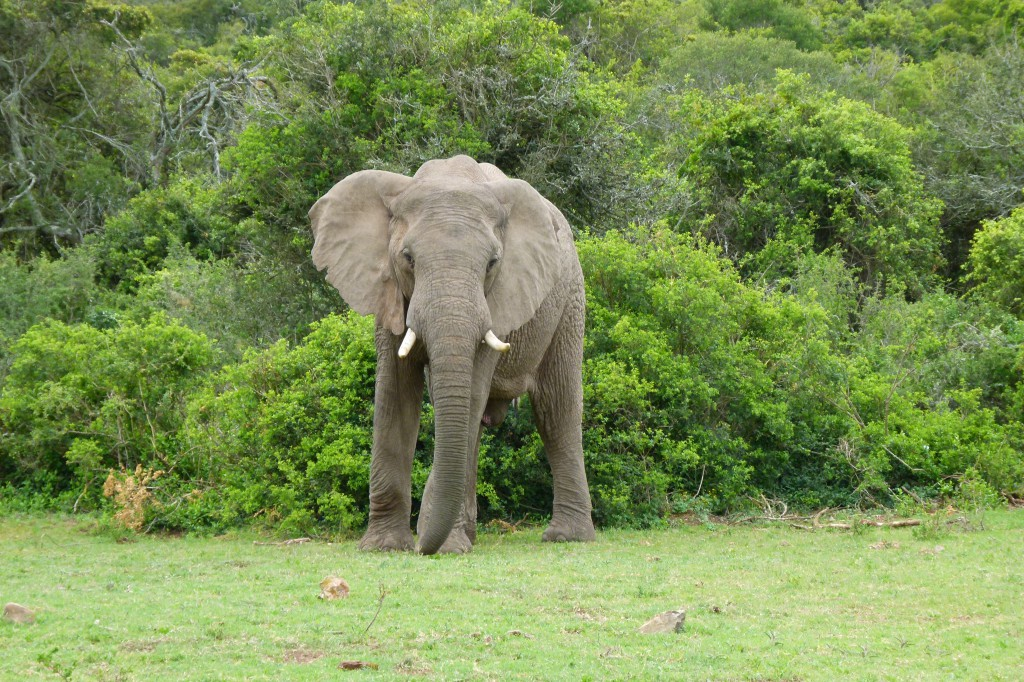 Elephant im Addo
